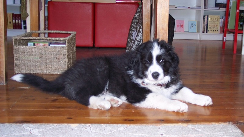 Shadow (wags) 10wks